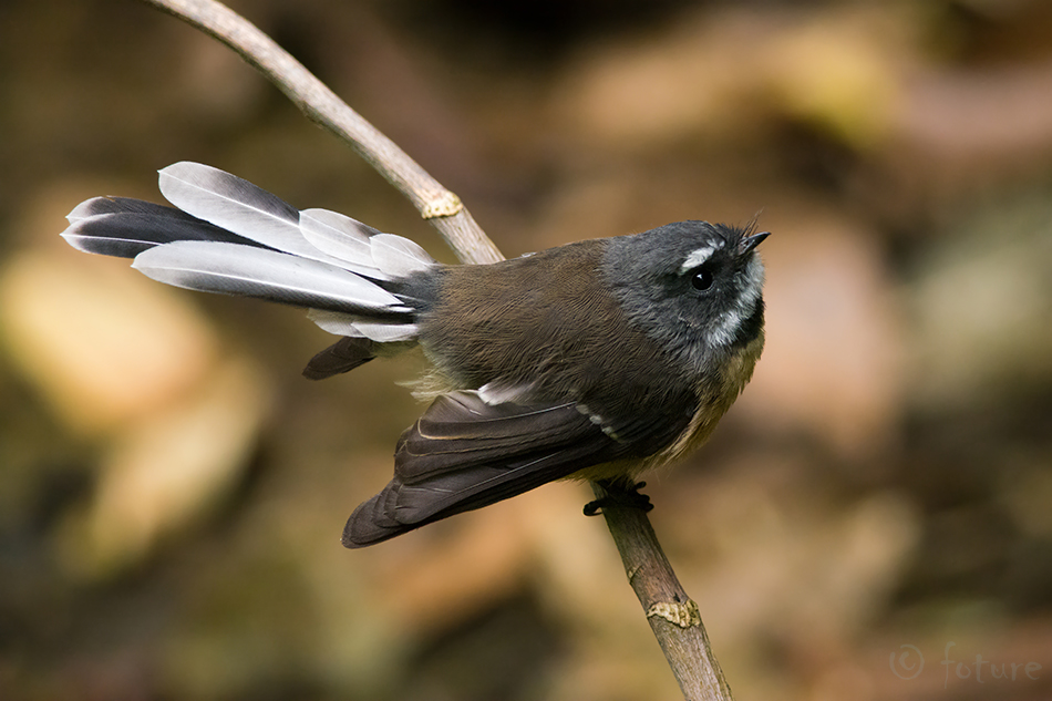 Maoori, lehviksaba, Rhipidura, fuliginosa, placabilis, New, Zealand, Fantail, Collared, Grey, Pied, Piwakawaka, Tiwakawaka, Piwaiwaka, Waitomo, region, Kaido Rummel