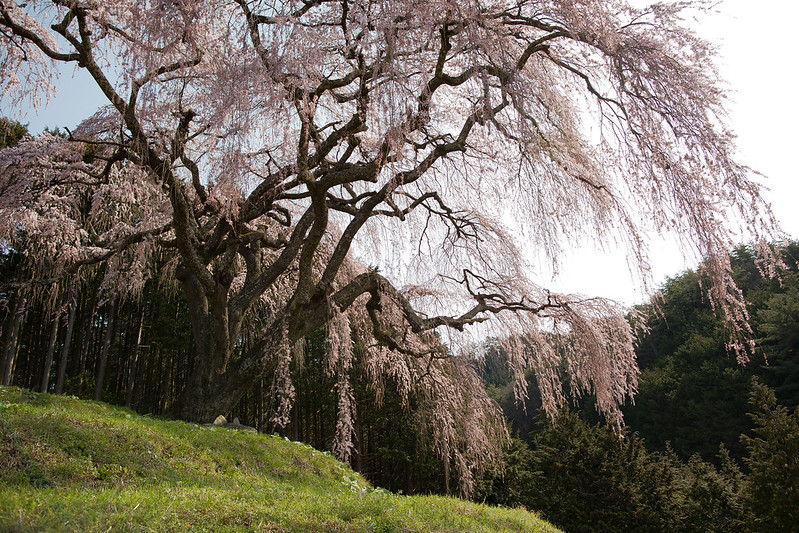 乙ケ妻 枝垂れ桜