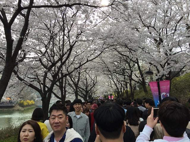 Cherry Blossom Trees around Seokchonhosu Lake