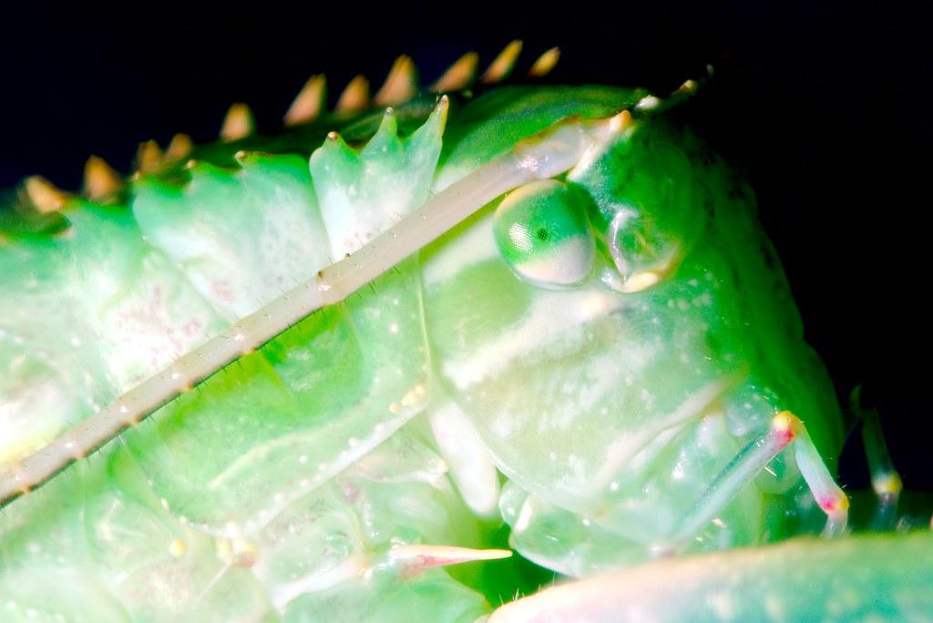 Giant Katydid (Macrolyristes corporalis)_3