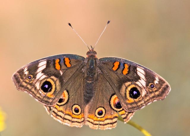 Butterfly-92-7D2-040817