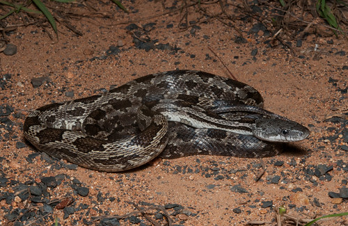 Gray Rat Snake | by adamcooner