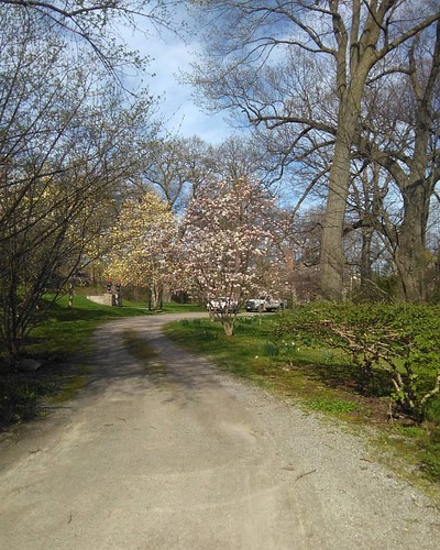 Distant magnolias #toronto #wychwoodpark #latergram #trees #magnolia