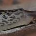 Leopard Slug - Limax maximus