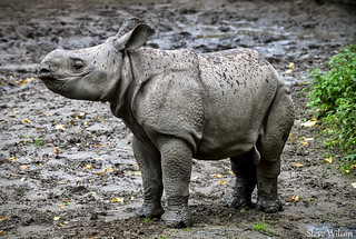 Greater One Horned Rhino Calf | by Steve Wilson - over 9 million views Thanks !!
