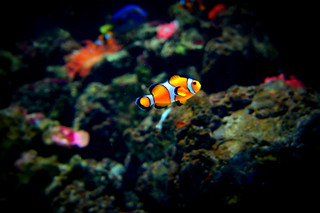 Clownfish, London Aquarium, UK | by the.gray.scale