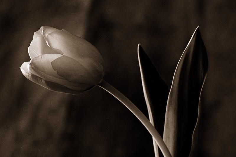 Sepia Tulip 2