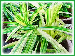 Rhapis excelsa cv. Variegata (Variegated Lady Palm, Variegated Bamboo Palm, Variegated Broadleaf Lady Palm) with captivating variegated leaves, 20 May 2013