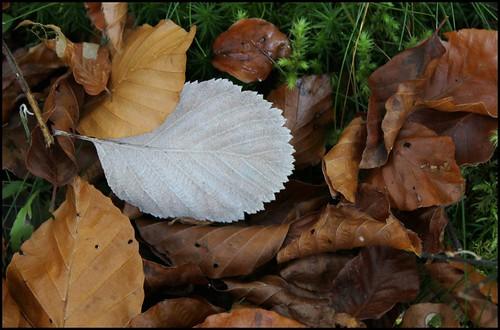 Sorbus aria - alisier blanc 34024347790_06b29f8063