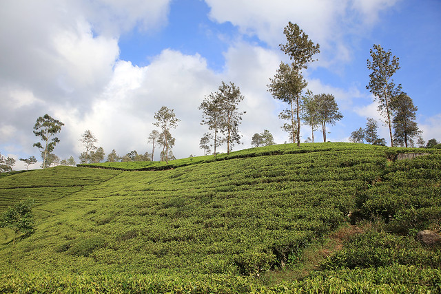 PW-Ceylon-Tea Country3