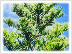 Captivating awl-shaped foliage of Araucaria heterophylla (Norfolk Island Pine, Star Pine, Triangle Tree, Living Christmas Tree), 1 April 2017