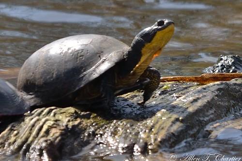 Emydoidea blandingii (Blanding's Turtle)