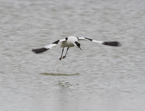 Avocet | by markhows