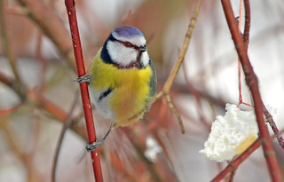Eurasian blue tit :) Finland. Winter. | by L.Lahtinen (nature photography)