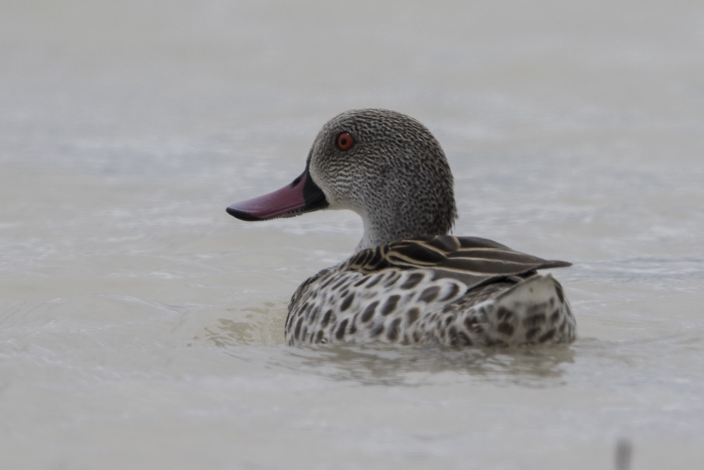 Cape Teal  Anas  Capensis