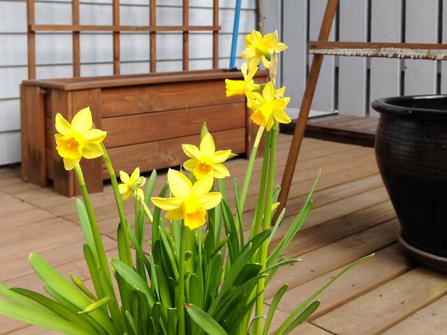Puutarhaseuranta narsissit kukkii. Valokuvaaja: Markus Kauppinen