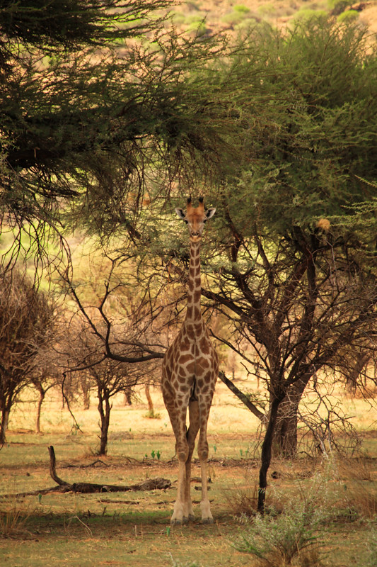 Giraffe Windhoek Namibia Safari