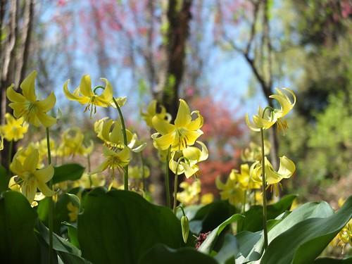 黄花かたくり