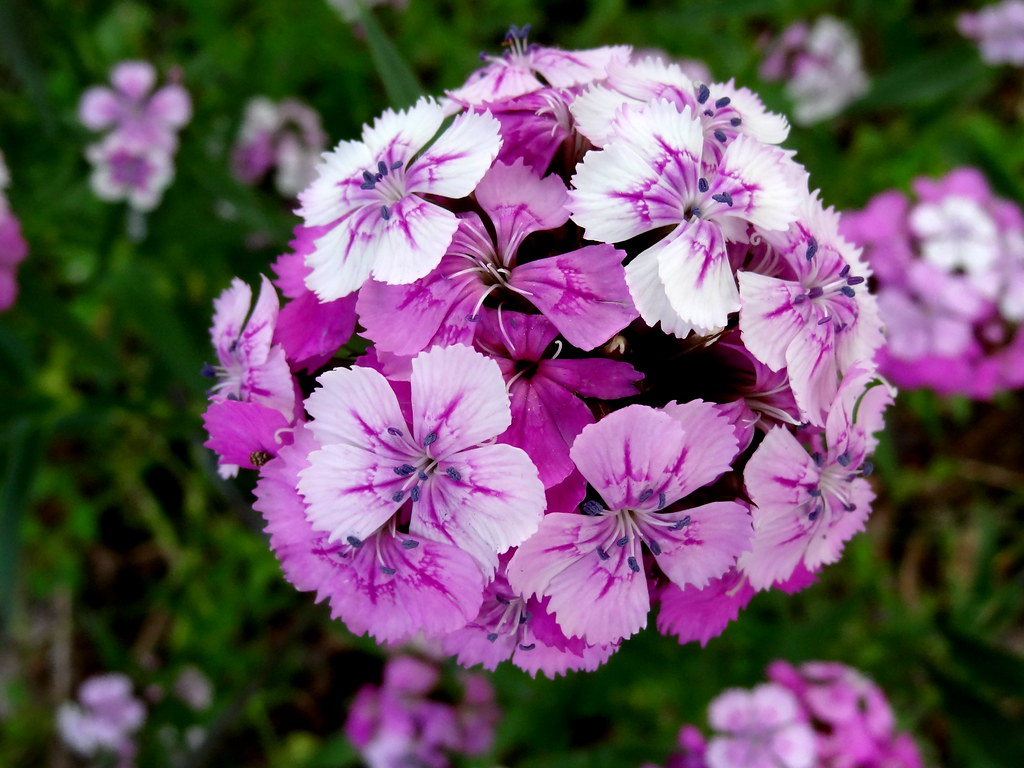 Sweet william flowers A flowering head of Sweet William …