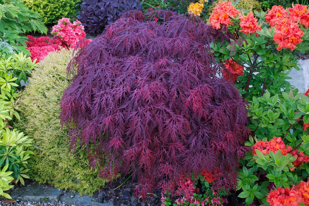 New Leaves Acer Palmatum Dissectum Crimson Queen Flickr