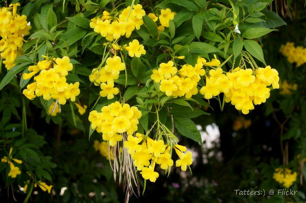 Tecoma stans - 'Yellow Trumpet bush' | Tecoma stans
