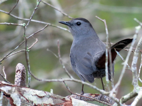 Gray Catbird | by Powered By Birds