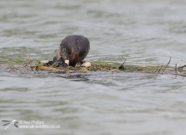 Little grebes trying to save nest-7