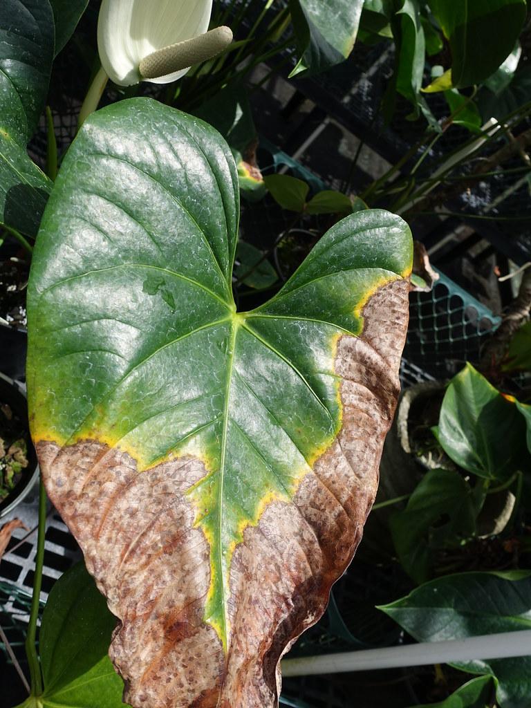 Anthurium Blight Read Cms Ctahr Hawaii Edu