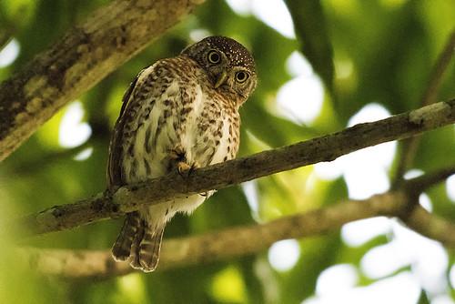 Cuba: Cuban Pygmy Owl