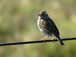 Savannah Sparrow | by Powered By Birds