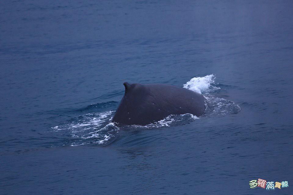 20170418大翅鯨出沒花蓮海域