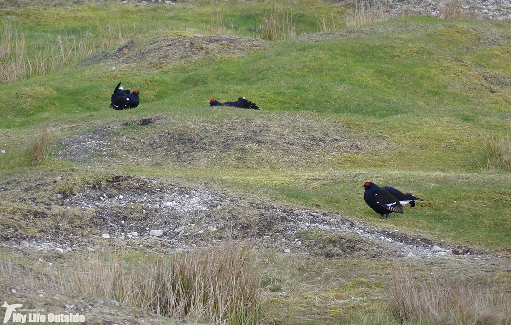 P1070712 - Black Grouse, World's End