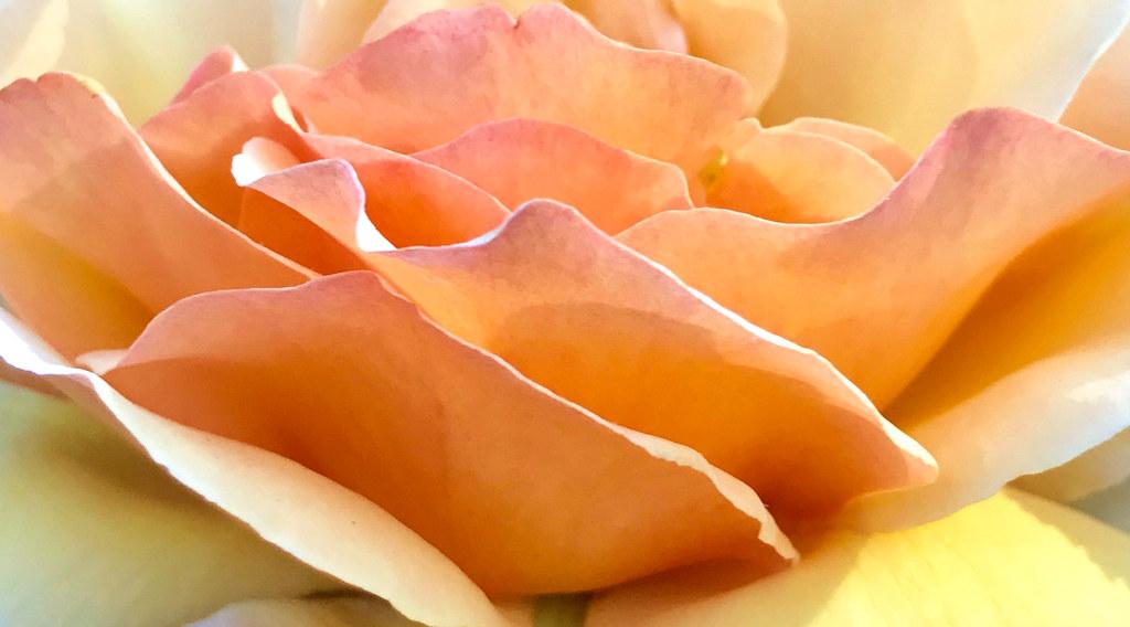 """Rosa """"Tahitian Sunset"""""""
