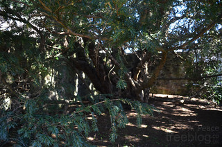 050413-fortingall-yew-3 | by treeblog