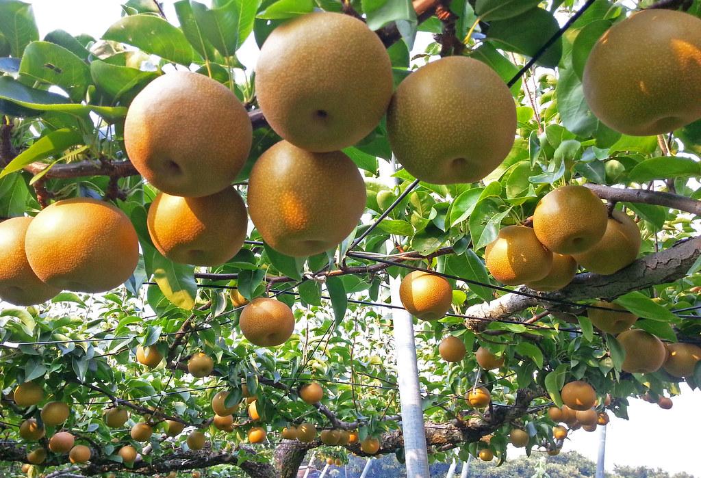 Nashi Kosui Japanese Pear Intercitylife Japan Reisen
