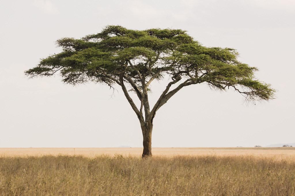 Acacia Tree D A Scott Flickr
