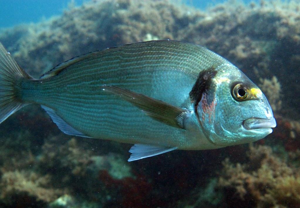 Daurade royale sparus aurata poisson flott flickr - Fotos de peces del mediterraneo ...