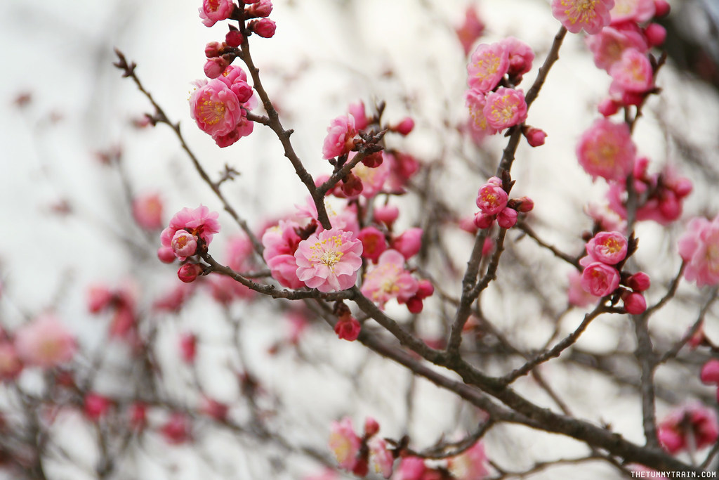 33146627320 b3185e15d6 b - Seoul-ful Spring 2016: Greeting the first blooms at Changdeokgung Palace