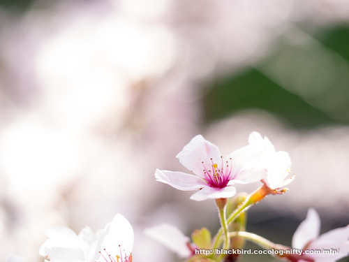 Cherry blossoms #13