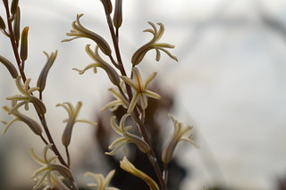 DSC_5547 Haworthia herbacea  ハオルチア ヘルバセア