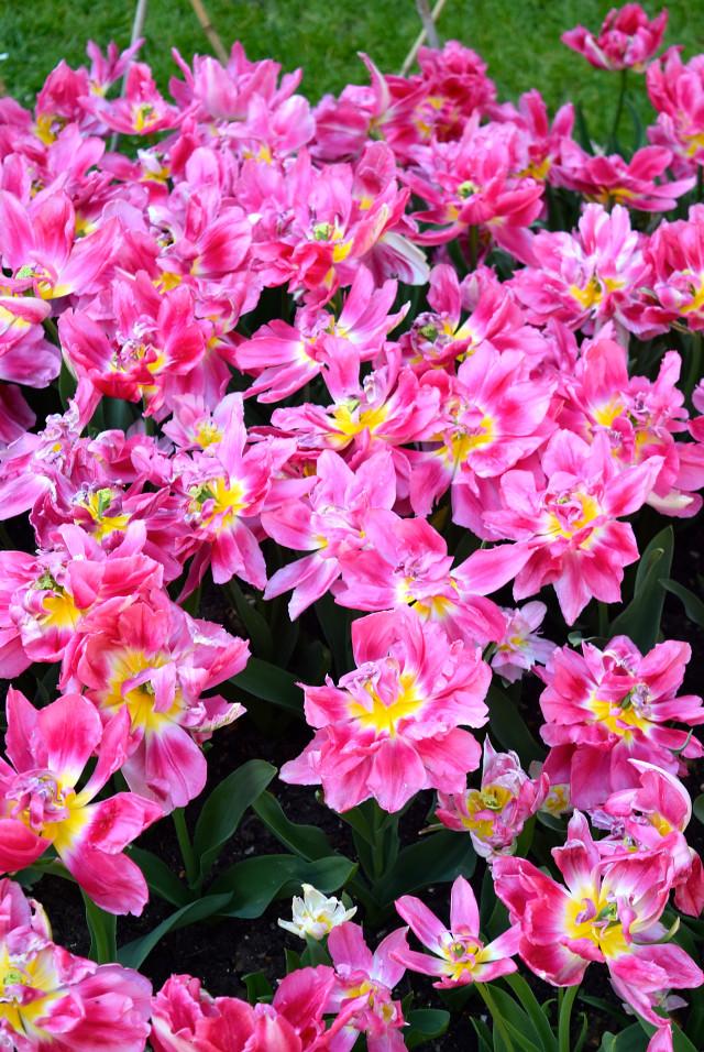 Pink Tulips at The Geffrye Museum of the Home | www.rachelphipps.com @rachelphipps