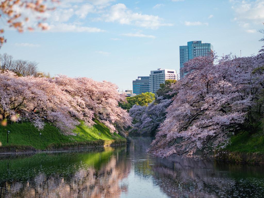 千鳥ヶ淵の桜2017①