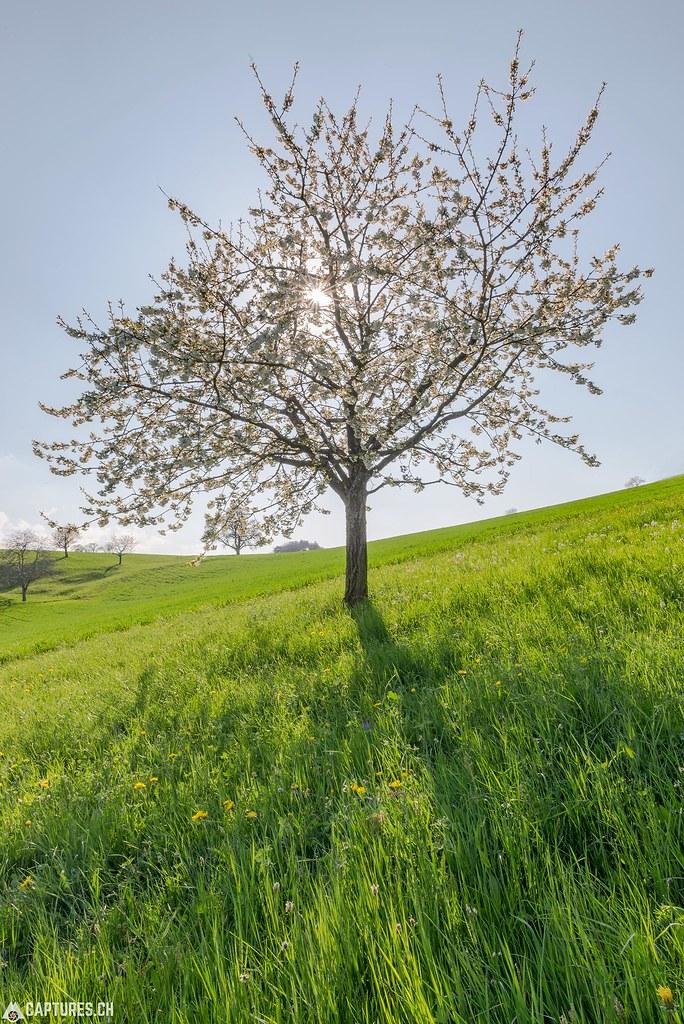 Cherry blossom - Baselland
