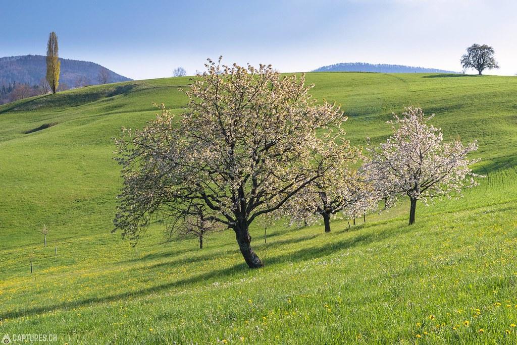 Cherry bloom 2 - Baselland