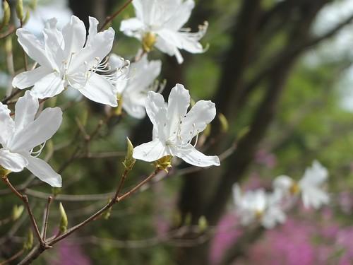 白花みつばつつじ