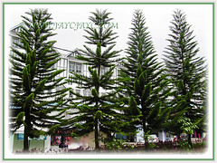 A row of the majestic trees of Araucaria heterophyll (Norfolk Island Pine, Star Pine, Triangle Tree, Living Christmas Tree), 26 Oct 2013