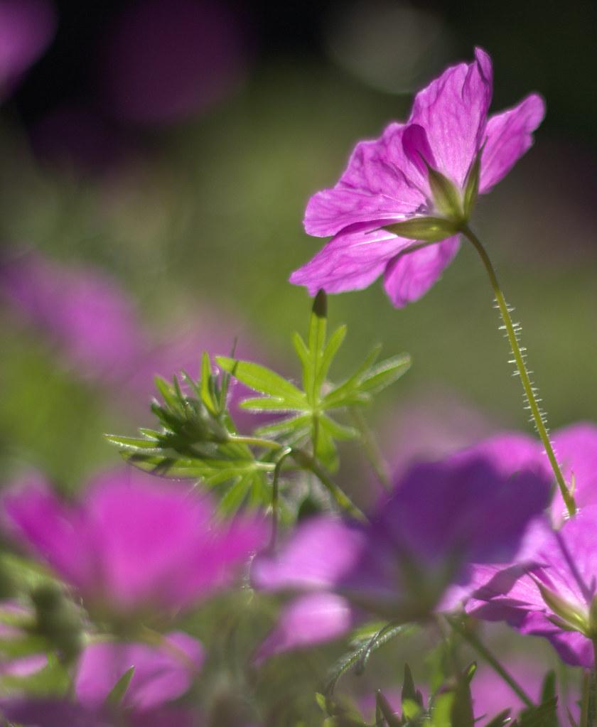 Fleur De Geranium Vivace Ancoline Flickr
