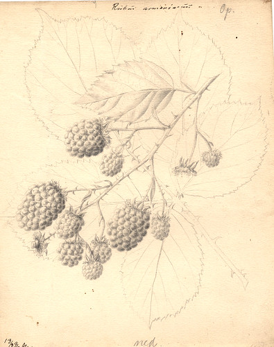 Brombær - Rubus Armeniacus | by Rigsarkivet - Danish National Archives
