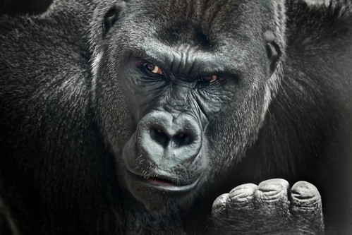 African Silverback Gorilla | by Joey Lax-Salinas Photography