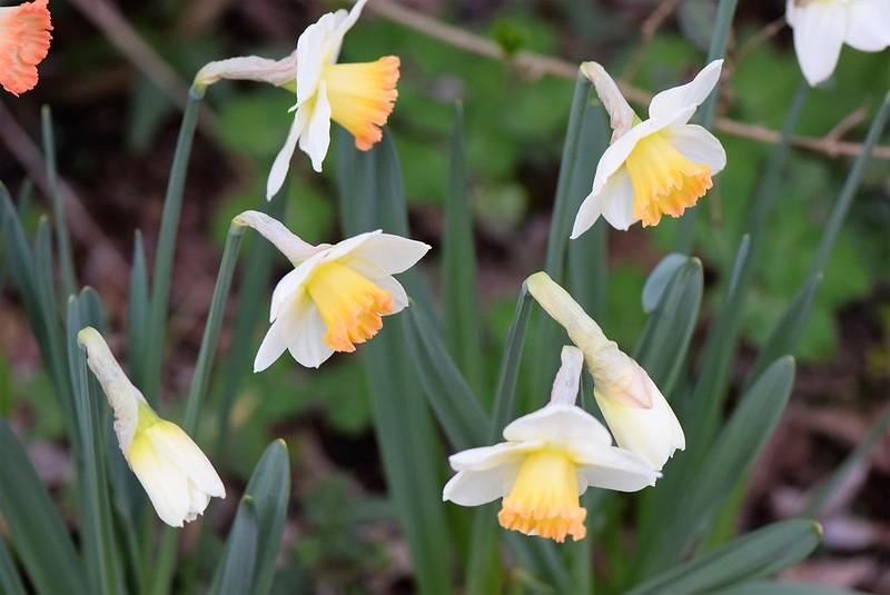 Daffodils 27.03 (2)